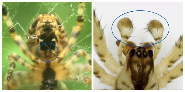 Spider genitalia circled in blue: on the left is the epigyne of a female garden spider (Araneus diadematus) and on the right are the palps of the missing sector orb weaver (Zygiella x-notata).