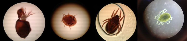 Four different types of mite found on thh course.  Photo: C.Bell