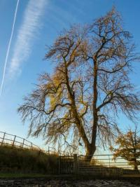 Ash tree in winter.  Photo: Rich Burkmar
