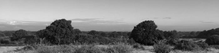 Meadows of fleabane at Knepp