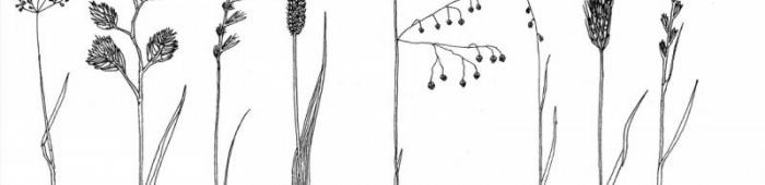 Grasses key sketches. Drawings: S Hyslop