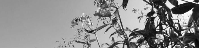 Himalayan balsam (Impatiens glandulifera).  Photo: Charlie Bell